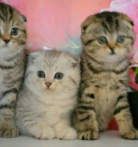 Сказочные Шотландские Супер котята