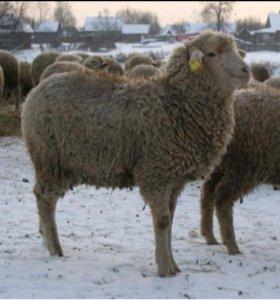 Овца,породы Меринос