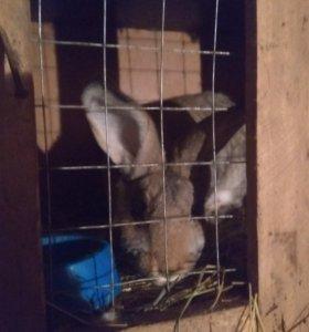 Кролики 3-х месячные, 7-ми месячные(с-цы, с-ки)