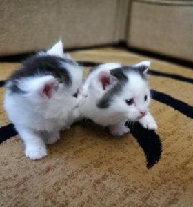 Котята,помесь мейн-куна