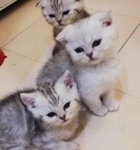 Шотландские котятки с документами