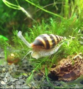 Гуппи , улитки, растения в аквариум