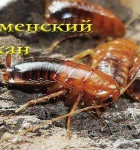 🕷️ Кормовые тараканы: ТУРКМЕНСКИЕ 🕷️