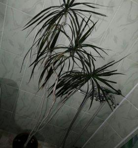 Цветок, пальма ,Драцена