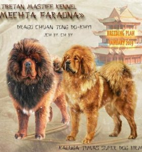 Тибетский мастиф малыши