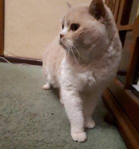 Вязка с британским котом.