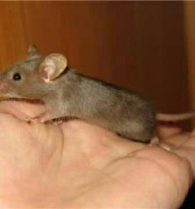 Декаративные мыши