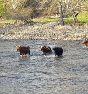 Корова, коровы, дойная
