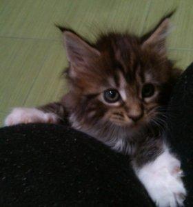Продаются котята Мейн-кун ручные, ласковые, игривы