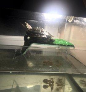 Черепаха 2000