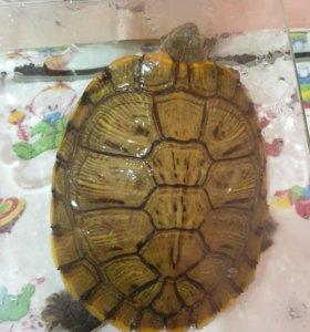 Отдам черепаху красноухую