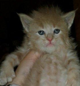 Котик Полидакт. Полидактильный