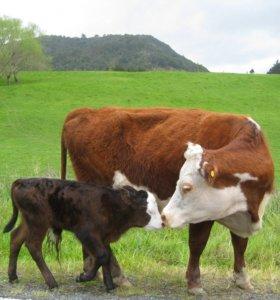 Искусственное осеминения коров