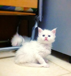 Котята мейн кун🐾