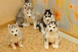 продажа сибирской хаски щенки