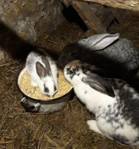 3 крольчихи и 1 крол