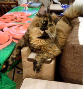 Котята пароды Мейн Кун