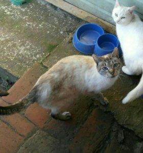 Тайский кот ищет новых хозяев, отдам кота.