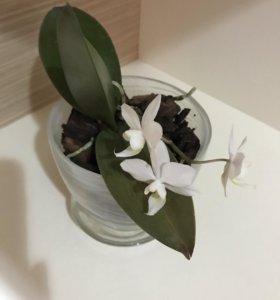 Орхидея фаленопсис (мини) в стеклянном горшке