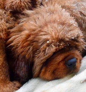 Роскошные щенки Тибетского Мастифа