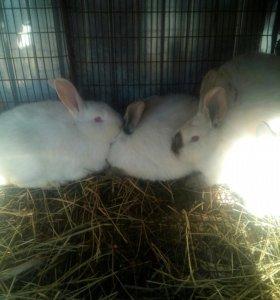 Кролики Калифорния ,новозеланцы