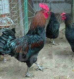 Цыплята чистой породы кур Московская черная