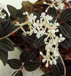 Орхидея Лудзия драгоценная