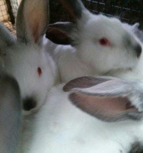 Кролик породы калифорнийский