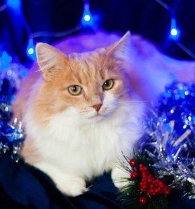 Роскошный рыжий кот