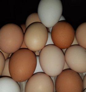 Яйцо домашних курочек