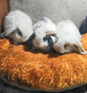 Вислоухие кролики 1 остался