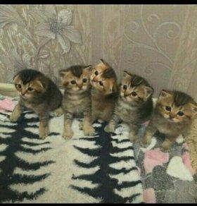 Шотландские котейки.