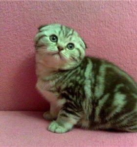 Элитные Шотландские Супер котята Мраморята
