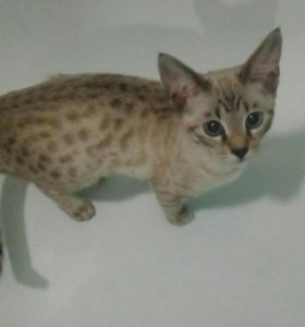 Кошечка бенгалочка