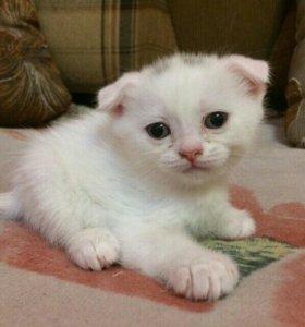 Веслоухий котик