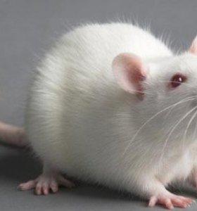 мыши ❄❄❄ КО взрослые и голыши