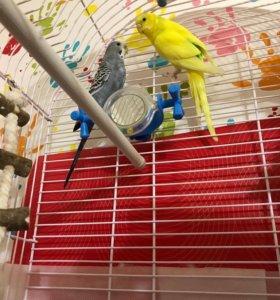 Волнистые попугайчики девочки