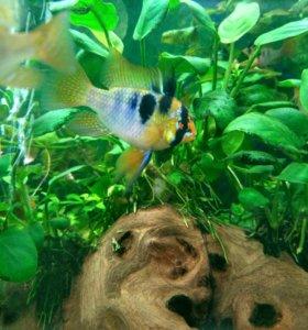 Рыбки Апистограммы