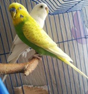 Волнистые птички