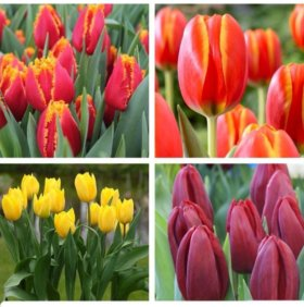 Свежесрезанные Голландские тюльпаны