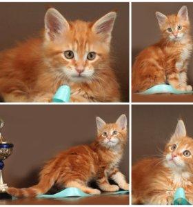Мейн-кун клубные котята