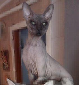 Котик сфинкс для вязки