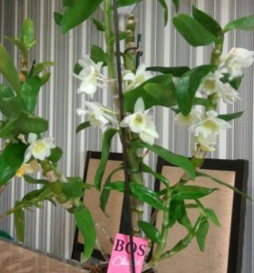 Орхидея дендробиум, белый цветущий.