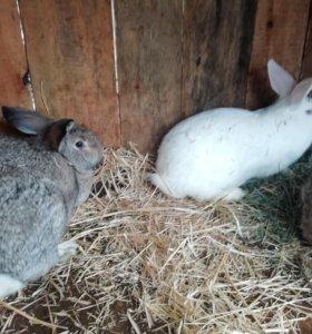 Продам кроликов самок, возраст 10 месяцев