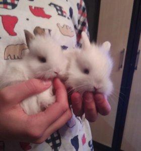Кролики декоративные