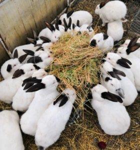 Кролики - калифорнийцы