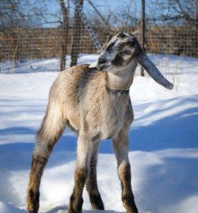 Дойная нубийская коза