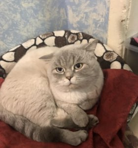 Британский кот найден отдадим только хозяевам