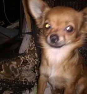 щенок подрощенный чихуахуа