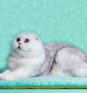 Вязка с котом серебристая шиншилла